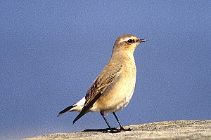 9 Greenland Wheatear 1st Winter Male